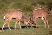 Kudu Antelope Battle
