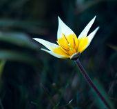 wild yellow Tulip