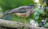 Close-up view of a Sunbittern - Eurypyga helias