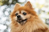 Head Of Heroic Looking Orange Pomeranian Dog