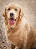 Golden Retriever Dog Sitting On A Path With Tongue Out