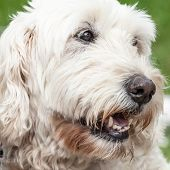 Close Up Of The Head Of A Soft Coated Wheaten Terrier