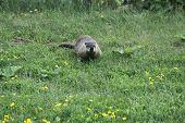 Groundhog (Woodchuck)