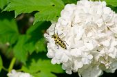 Snowball Flower Crawl Black Yellow Coleopteran Bug