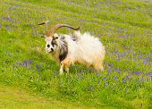 Goat in bluebells