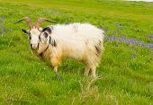 Long horns on British Primitive goat breed