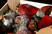 Mold Strawberries