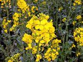 Crop Oilseed Rape Flower