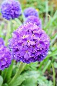 Violet Primrose Primula Denticulata