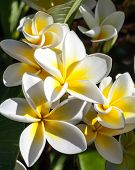 Cluster Of Tropical Frangipani Flowers