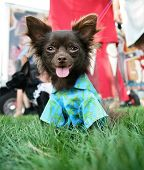 a cute chihuahua sitting in grass in a backyard or park with a shirt on