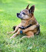 a cute chihuahua sitting in grass in a backyard or park