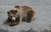 Brown bear rest