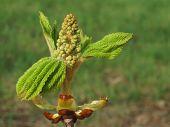 Knospenknall, Chestnut bud