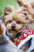 stock photo of yorkie  - small yorki wearing a christmas sweater looking at the distance - JPG