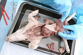 Fetal Pig's Lungs Dissected By Medical Student