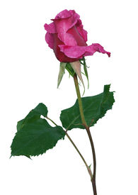 pic of pink rose  - The Rose Shocking Blue isolated with clipping path - JPG