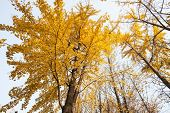 up look of yellow trees in autumn