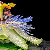 Spa Concept Of Passiflora Flower And Twig Fern With Dew On Stone Texture, Closeup
