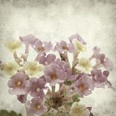 picture of lantana  - textured old paper background with pink and yellow Lantana flowers - JPG