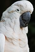 picture of cockatoos  - Close up of White Moluccan Cockatoo parrot - JPG