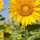 Sunflower Closeup In  Field