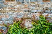 Ivy With Old City Wall