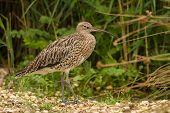 Curlew Wading Bird