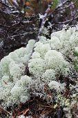 Reindeer lichen (Cladonia portentosa)