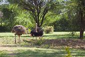 Ostriches Near Bogoria, Kenya
