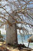 stock photo of baobab  - A Baobab Tree on Wasini Island in Kenya - JPG