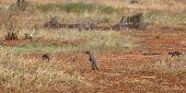 Banded Mongooses In Kenya