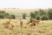 Gazelles In Tsavo East, Kenya