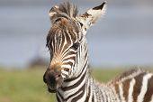 Zebra Portrait In Kenya