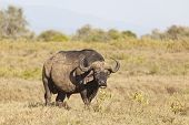 Cape Buffalo In Kenya
