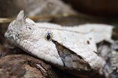 Gabon Viper, Bitis Gabonica
