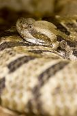 picture of timber rattlesnake  - Measuring from 3 - JPG