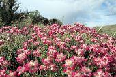 Thyme Buckwheat Flowers