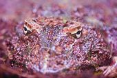 Man Frog - Ceratophrys Ornata
