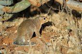 stock photo of dwarf  - Common dwarf mongoose  - JPG