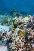 Peixe de anêmona do mar vermelho