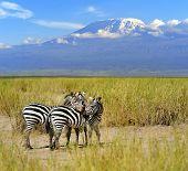 image of kilimanjaro  - Zebra on the background of Mount Kilimanjaro in the national reserve - JPG