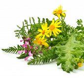 Beautiful Wildflowers, Yellow Chamomiles, Milfoil