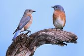 Pair Of Eastern Bluebirds