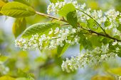 Bird Cherry Blooming