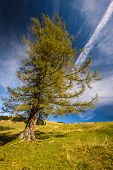 stock photo of freaky  - Single  larch tree in yellow autumn color in sunny day - JPG