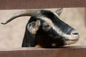 black goat in zoo