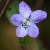 Forest Violet Macro