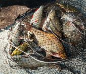 stock photo of fresh water fish  - Freshly caught various fresh - JPG