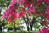 Azaleas with Oak Trees in the Background